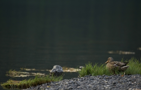 dabbling: Black American Duck on the Lake Shore. Wildlife Photo Collection.