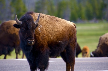 Wyoming Bison. Yellowstone National Park Wildlife - American Buffalo. Wild Animals Photography Collection. Stock Photo - 19642311
