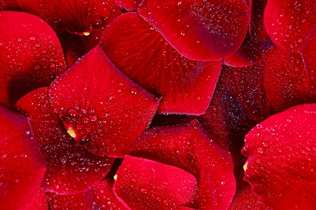 Red Rose Petals Background. Nature Background Photo Collection.
