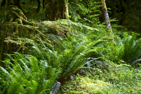plants species: Felci foresta pluviale. Stato di Washington - americana Northwest Rainforest. Olympic National Park. Nature Photo Collection.