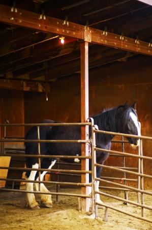 Zwarte Paard in Stal Stockfoto