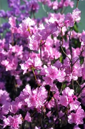 flowering plant: Rosa Magnoliophyta - Fiori Rosa.