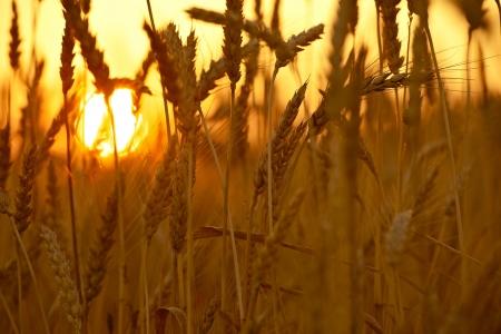 wheat harvest: Coltivazioni di grano nel tramonto. Campo di grano Primo piano. Collezione Agricoltura. Archivio Fotografico
