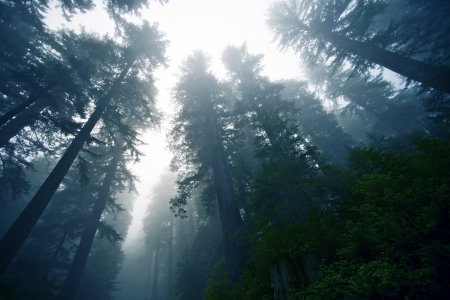 cedars: Deep Foggy Redwood Forest in Northern California, USA. Nature Collection. Stock Photo