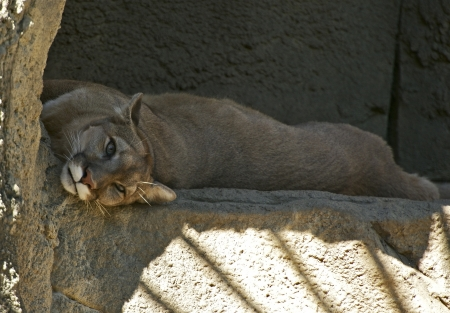 the throughout: Puma on Rock  Puma  Felis Concolor  Pumas can be found throughout South, Central and North America  Wild Animals Photo Collection