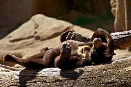 Lazy ours malais. Ours malais est plus petite espèce d'ours. Vivent en Asie du Sud-Est. Ours Collection de photos.