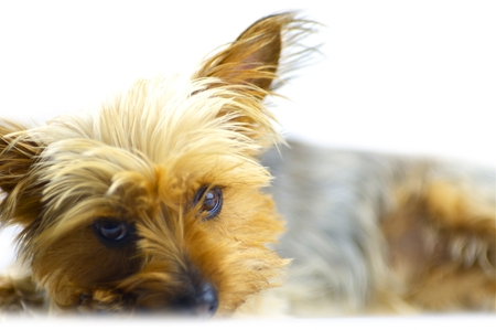 silky terrier: Dog Isolated on White. Australian Silky Terrier Portrait. Pets Photo Collection.
