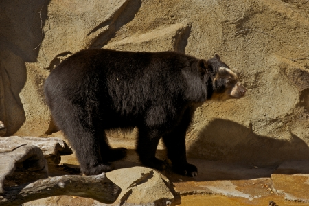 andean: The Andean Bear in a Zoo. Andean Bear Can Be Found From Panama Through Peru. Latin Name: Tremarctos Ornatus. Bears Photo Collection.