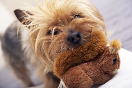 silky terrier: Small Dog Play with Plushy Toy. Four Years Old Australian Silky Terrier. Pets Photo Collection
