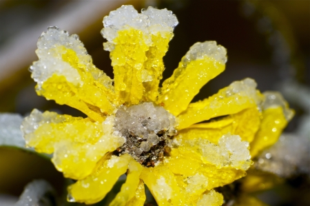 icy conditions: Frozen Spring. Yellow Flower Covered by Ice. Frozen Rain in Action.