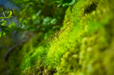 Moss Closeup. Mosses Were Grouped With the Liverworts and Hornworts. Bryophyta Division.