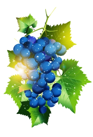 agro: Sunny Vineyard Grapes Illustration Isolated in White Background.