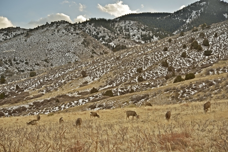 Front Range Elks in Colorado, United States. Group of Elks on the Grassy Hill. photo