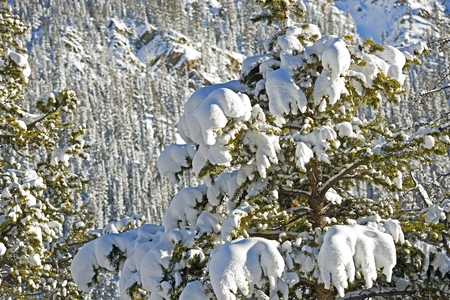 Spruce Trees in Snow Closeup. Colorado Forest in Winter.