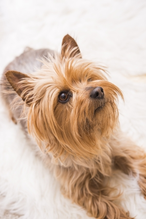 silky terrier: Laying Adult Silky Terrier. Five Years Old Silky Terrier.