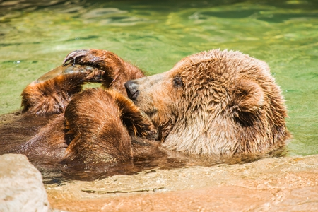 hibernate: Grizzly Bear Having Fun in the Water. North American Brown Bear