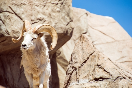 borrego cimarron: Colorado Bighorn Sheep on the Rocks.