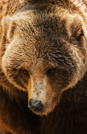 hibernate: Grizzly Bear Head Closeup Photo. American Brown Bear.