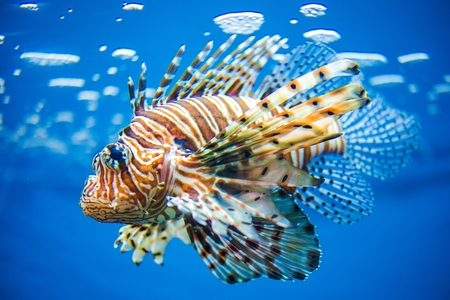 Pterois, Commonly Known as Lionfish.