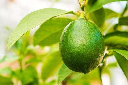 lemon tree: Green Lemon colgando de la rama de �rbol de lim�n. Foto de archivo