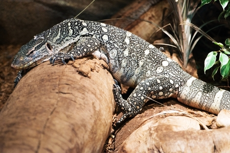 desert lizard: Monitor Lizard on the Rock. Monitor Lizard Closeup Photo.