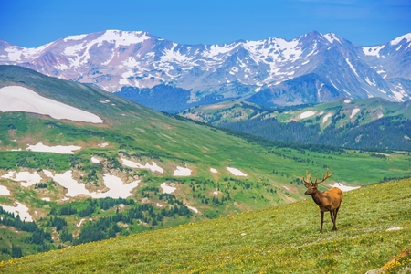 rocky mountains colorado: Lonely Elk on the Alpine Meadow in Colorado, United States. Colorado Rocky Mountains Wilderness.