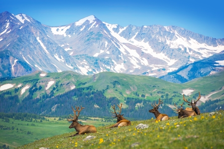 elk: North American Elks on the Rocky Mountain Meadow in Colorado, United States. Resting Elks Stock Photo