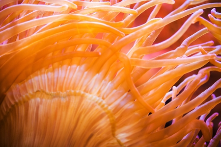 bubble sea anemone: Bubble Sea Anemone Closeup.