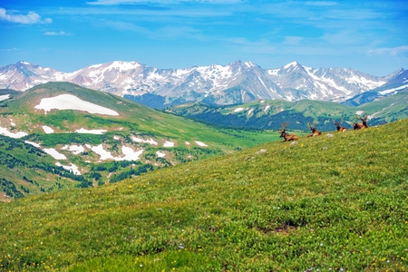 Lonely Elk On The Alpine Meadow In Colorado United States - Mountains in the united states