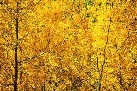 Fall Foliage with Aspen Trees. Golden Autumn Background. Stock fotó