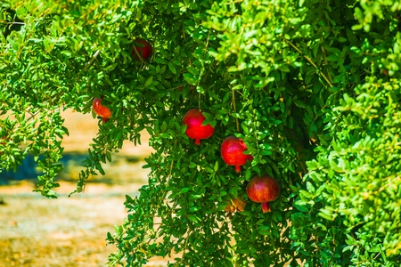 Pomegranate Tree and Fruits. California Organic Produce.