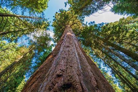 古代ジャイアント ・ セコイア フォレスト、カリフォルニア州アメリカ合衆国。セコイア国立公園、カリフォルニア、米国。