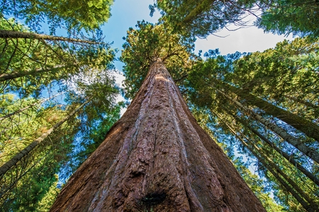 tallest: Ancient Giant Sequoias Forest in California, United States. Sequoia National Park, CA, USA. Stock Photo