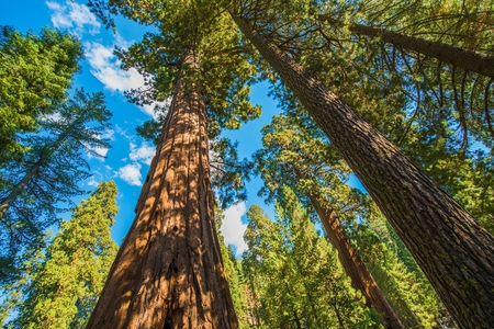 sequoia: Giant Sequoias in the Sequoia National Park in California, USA. Stock Photo