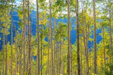 arboleda: Verde amarillo Aspen árboles del paisaje cerca de Aspen, Colorado, Estados Unidos. Otoño en el Colorado.