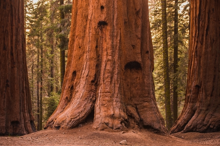 Giant Sequoia Trees in Sequoia National Forest, California, USA. Stock fotó