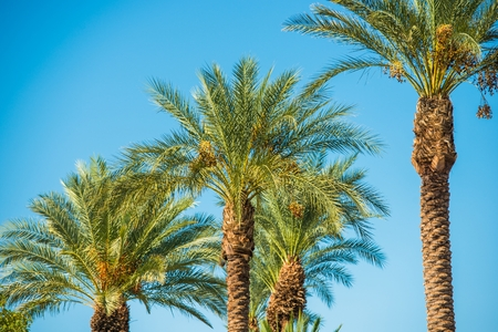 palm: Palm Trees Oasis. Palms on the Clear Blue Sky Stock Photo