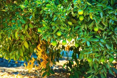 lemon tree: Organic Lemon Tree Cerca Fotos. El cultivo del lim�n. Foto de archivo