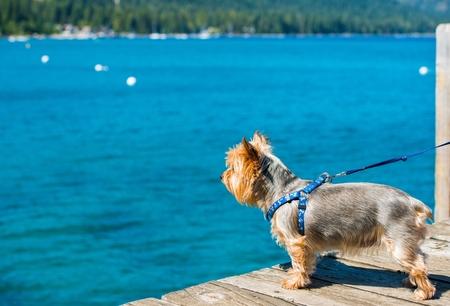 silky terrier: Cane Passeggiata al lago. Lake Tahoe e Silky Terrier al guinzaglio. Archivio Fotografico