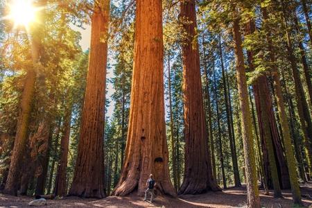 Sequoia vs Man. Giant Sequoias Wald und der Tourist mit Rucksack Blick nach oben.