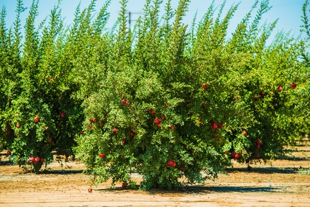 Pomegranate Cultivation. Pomegranate Trees with Fruits in California, United States. Organic Pomegranate Plantation