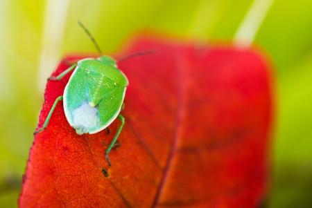 shield bug: Green Stink Bug ( Chinavia Hilaris ) or Green Soldier Bug on the Red Leaf.