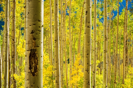 Aspen Trees Forest near Aspen in Colorado, United States 免版税图像