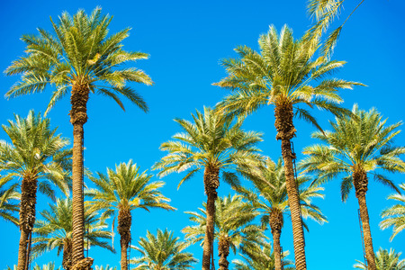 California Palms and the Blue Sky. Palms Plantation. Ladders on the Trees. Standard-Bild