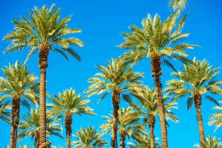 palmier: Californie Palms et le ciel bleu. Plantation Palms. �chelles sur les arbres.