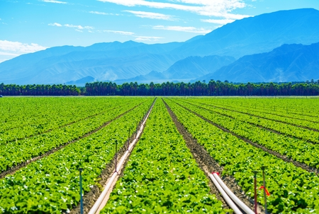 California Produce Theme. Lettuce Field in Coachella Valley, California, United States. Stock Photo