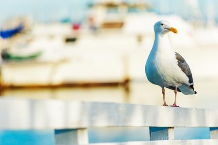 diego: California Seagull. Seagull at the White Harbors Fence. San Diego, California Wildlife.