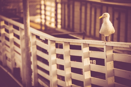 grading: California Sea Gull on the Marina Wood Fence. Vintage Color Grading.