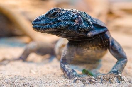 lagartija: Desierto Iguana primer. (Dipsosaurus Dorsalis). Los lagartos comunes de la Sonora y el desierto de Mojave.