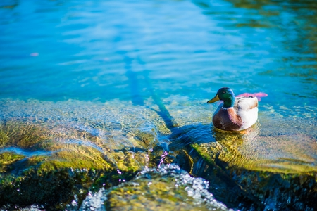 dabbling: Duck on the Lake Photo. Wildlife and the Nature.
